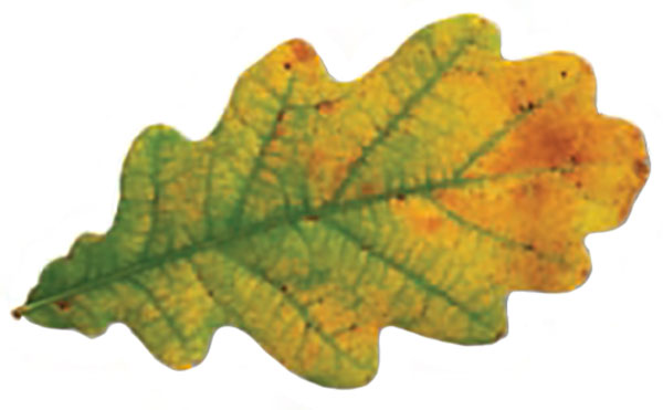 Photo of a green leaf