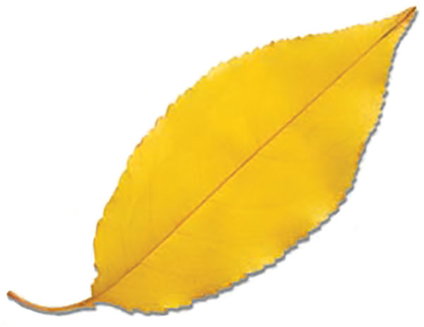 Photo of a yellow leaf